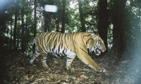 Research methods that find serial criminals could help save tigers | Matthew Struebig, Freya St. John